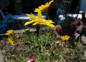 Blume blühen - Corona zu Trotz
